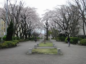 相模台団地桜並木2