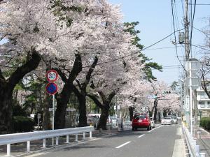 相模台団地桜並木1