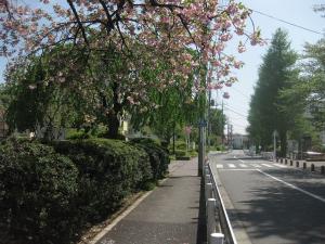 相模台団地八重桜