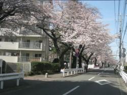 相模台団地と桜並木
